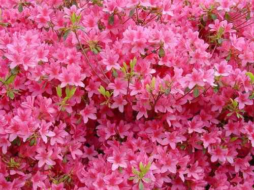 Розовый - это разбавленный красный.  Этот цвет даёт